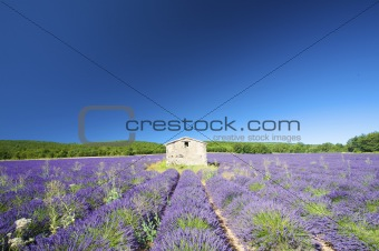 Fresh and bright Lavender field in France in summer