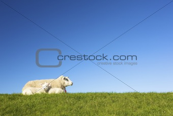 Cute lambs in spring on a green field