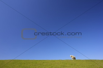 A sheep in summer on a green field of grass with a blue sky