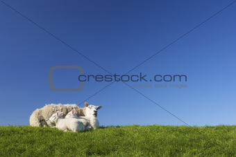 a sheep and cute lambs in spring