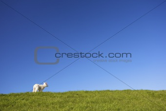 a lamb in springtime on a green field of grass and a blue sky