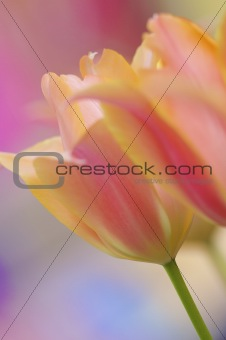 Fresh and bright pink and orange Tulips from the Netherlands