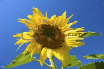 Bright and fresh sunflower in summer with a vibrant blue sky