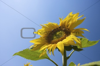 a sunflower in summer with fresh yellow color and a blue sky
