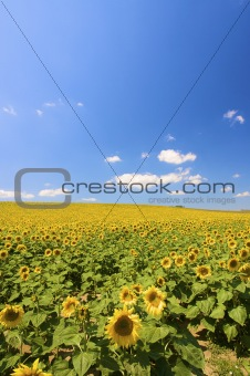 a field of fresh yellow sunflowers in summer