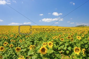 a field of fresh yellow sunflowers in summer in france