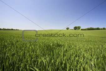 A fresh field of green grass with a vibrant blue sky