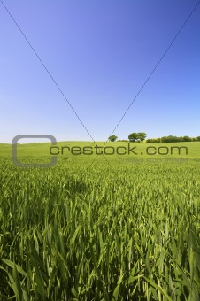 a fresh field of grass with a vibrant blue sky in summer