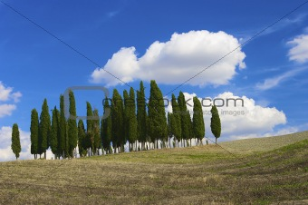 Cypresses on a hill in Tuscany on a sunny day in autumn