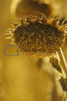 a field of brown sunflowers in Autumn
