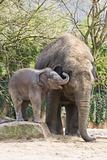 Playing asian baby elephant