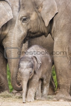 Asian baby elephant