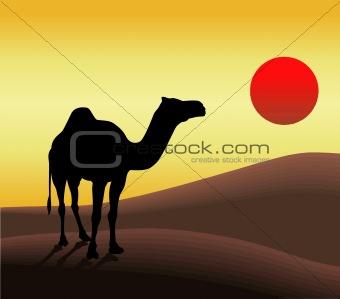 Camel in desert and sunset.