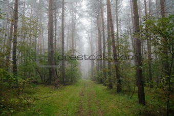 foggy forest in Poland