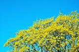 yellow-green maple tree blossoms on the clear blue sky background