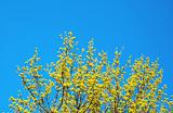 maple tree flowers on the clear blue sky background