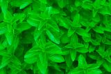 Fresh Mint ~ Spearmint, Peppermint