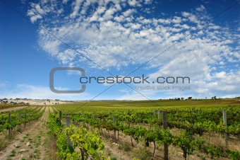 Green Summer Vineyard