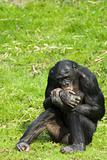 bonobo sitting