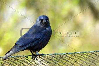 blackbird resting on fence