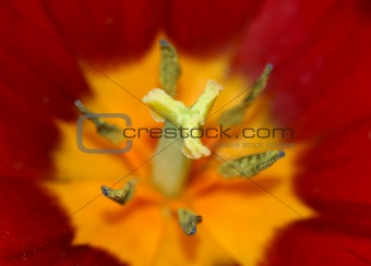 Centre of a tulip