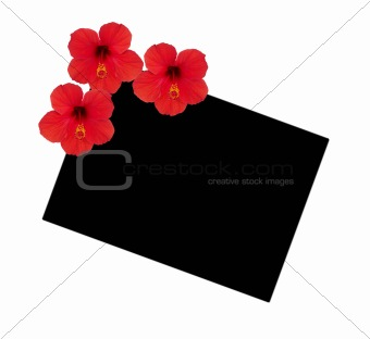 Three flowers hibiscus on a background of a black square