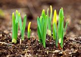 Spring shoots