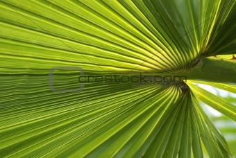 Palm leaf texture