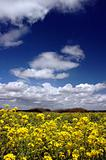 Mustard Flowers Under White Clouds