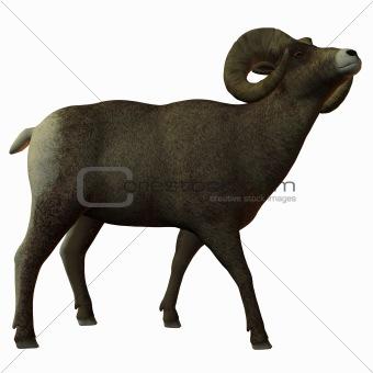American Bighorn Sheep
