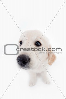 Adorable golden retriever puppy with wide angle lens