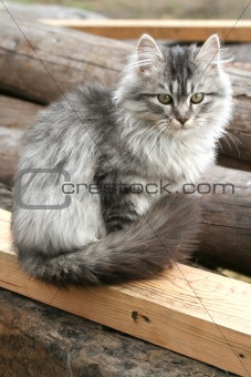 Beautiful gray cat sits outdoors