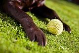 Labrador & Ball