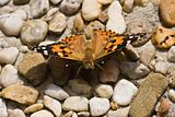 Painted Lady in the sun