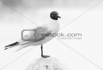 Black-headed Gull-black and white