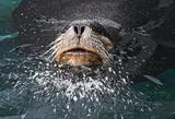 Sea lion bull leader splashing water