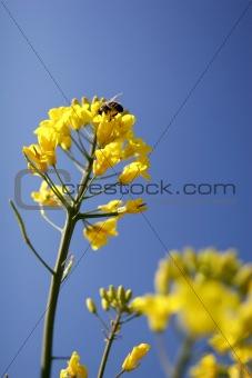 Bee on a rape flower, against blue sky