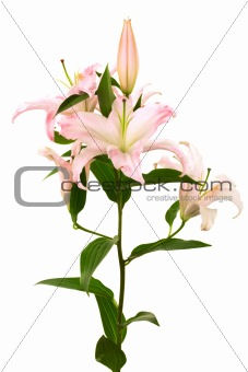Beautiful pink lily