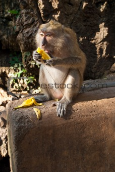 sitting on the stone monkey eating banana