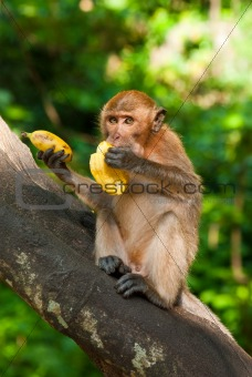 sitting on the tree monkey eating banana