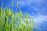wheats field