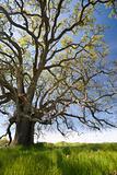 Grand Old Spring Oak