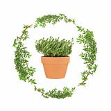 Herb Thyme