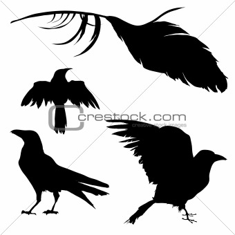 Raven, crow, blackbird and feather