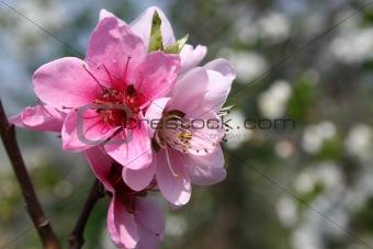 almond bouquet