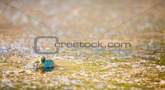 Floating Frog at Sunset