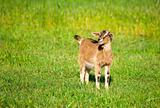 Young Goat in Spring Field