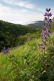 Lupine over Morning Mountain Valley