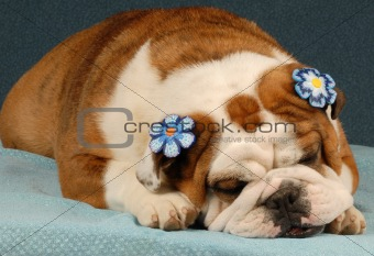 adorable female english bulldog