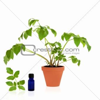 Angelica Healing Herb